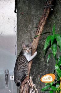 淡水小貓爬樹(抱樹)