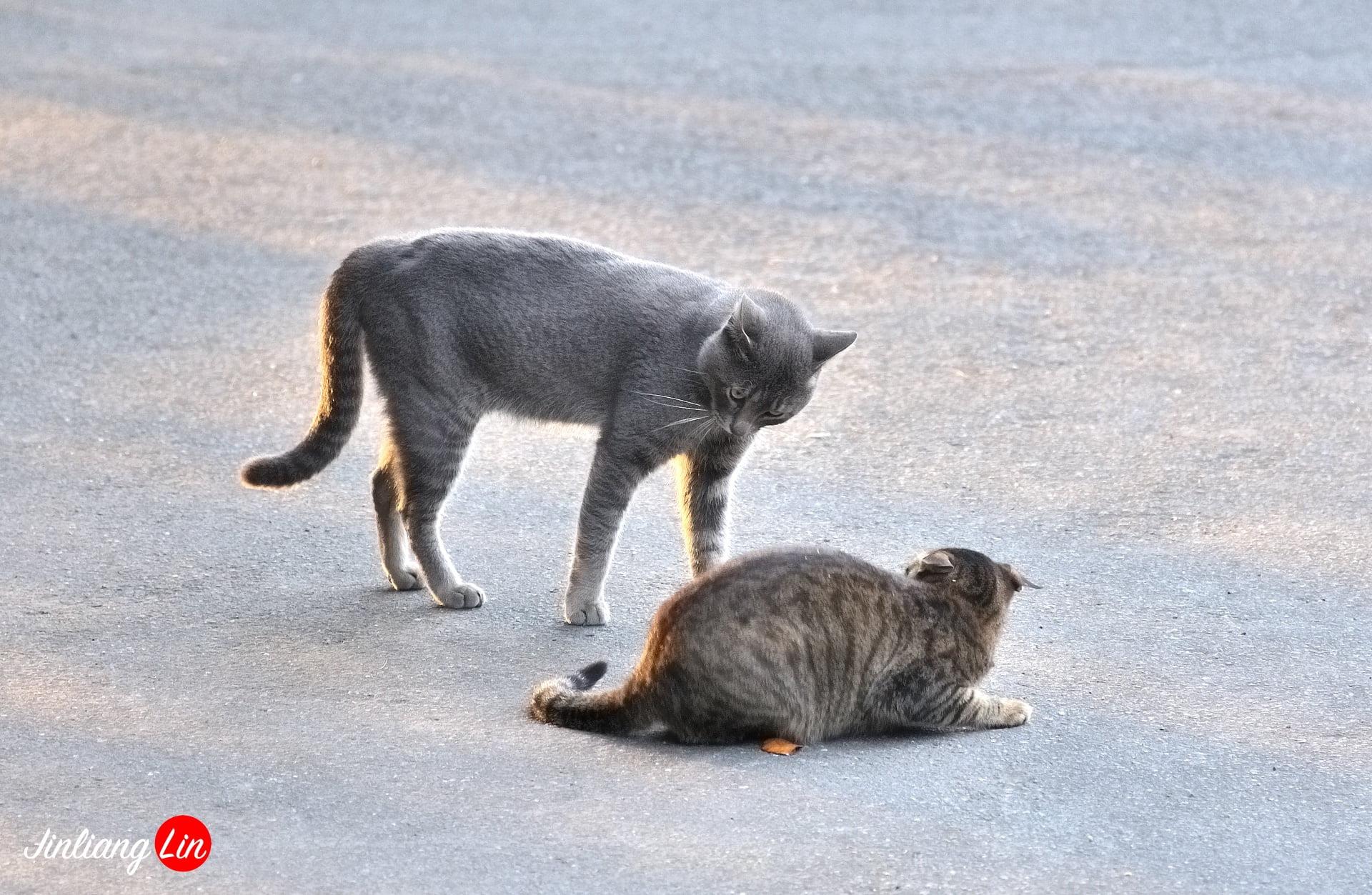 百貓物語:淡水河岸停車場藍貓哥初登場跟大家拜年(英國短毛貓)