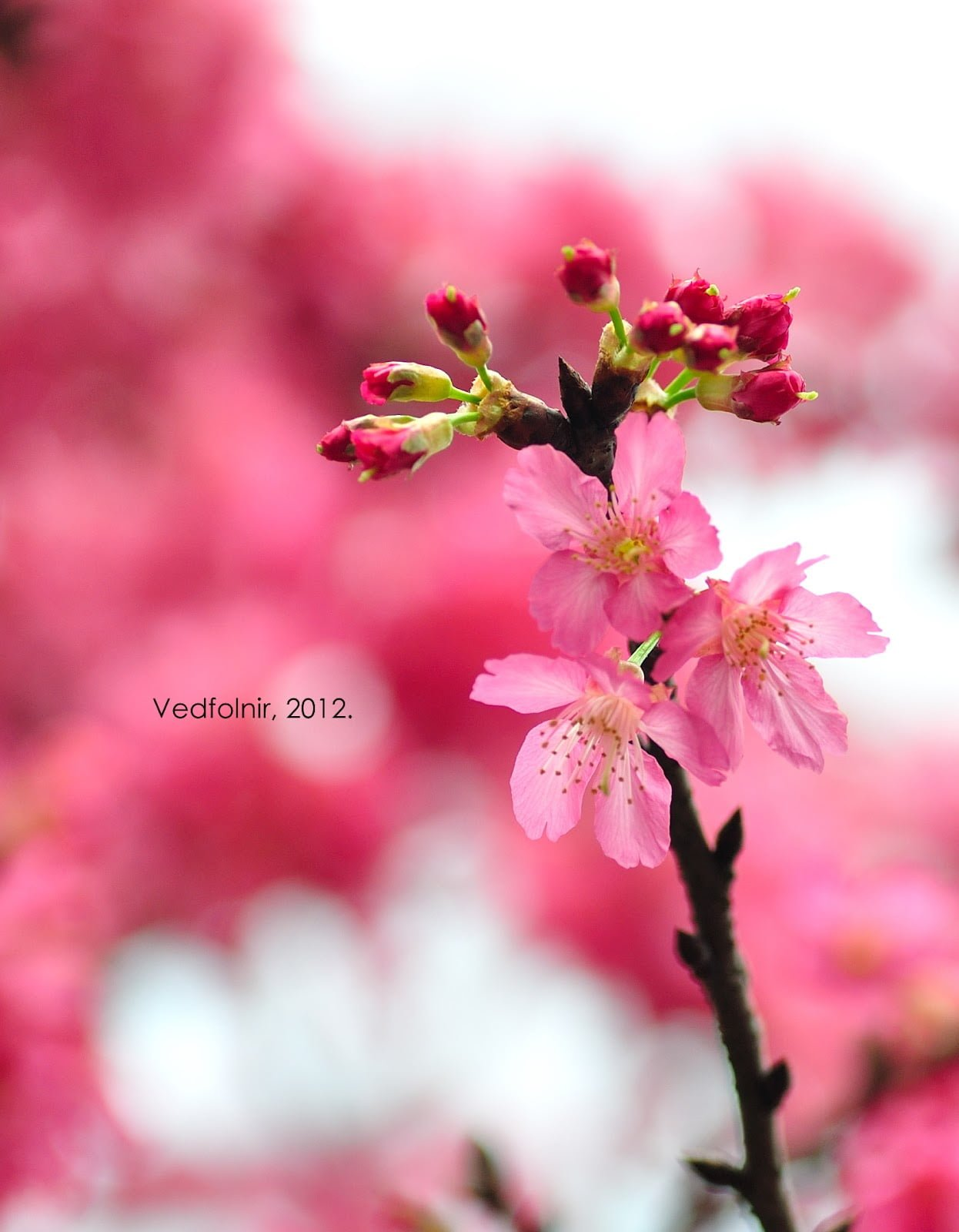 淡水的超粉嫩櫻花