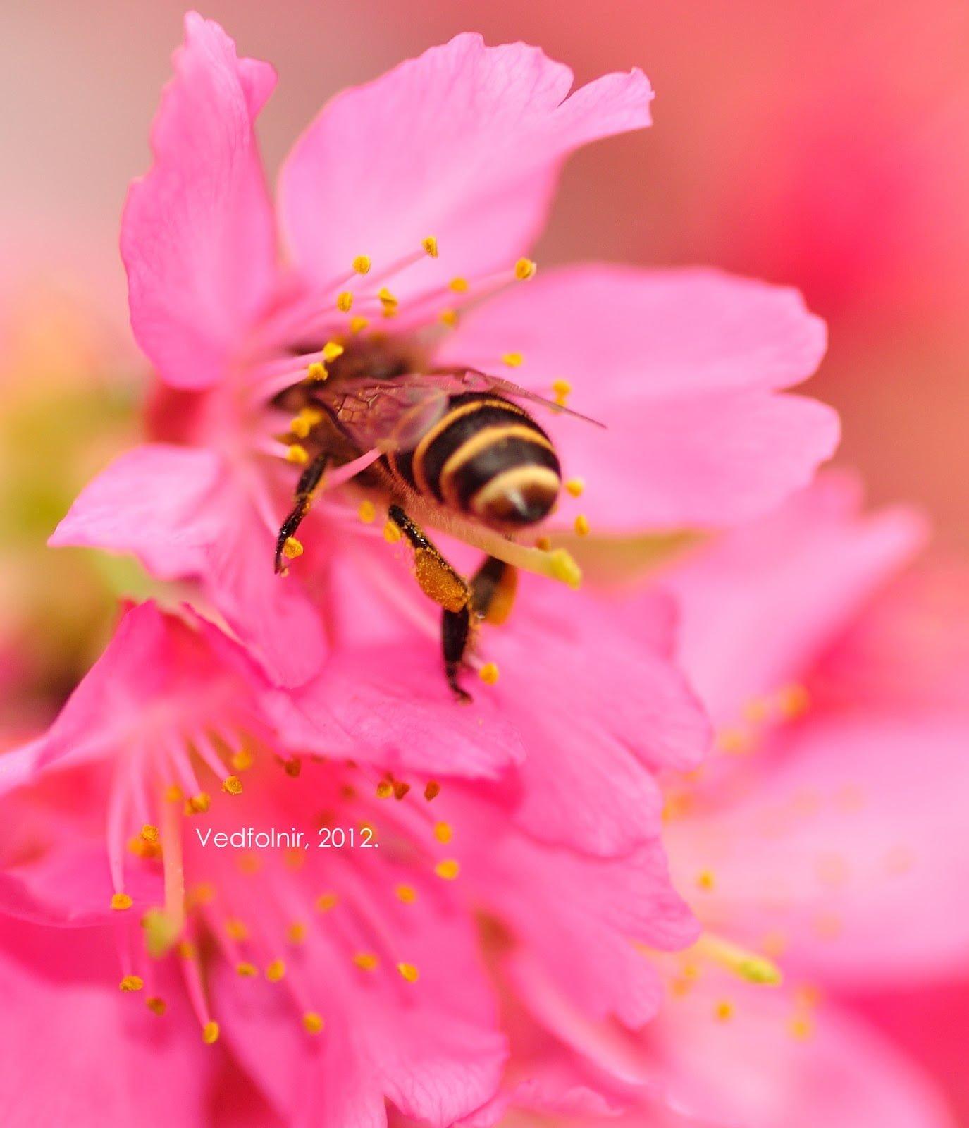 蜜蜂被櫻花吃掉了。