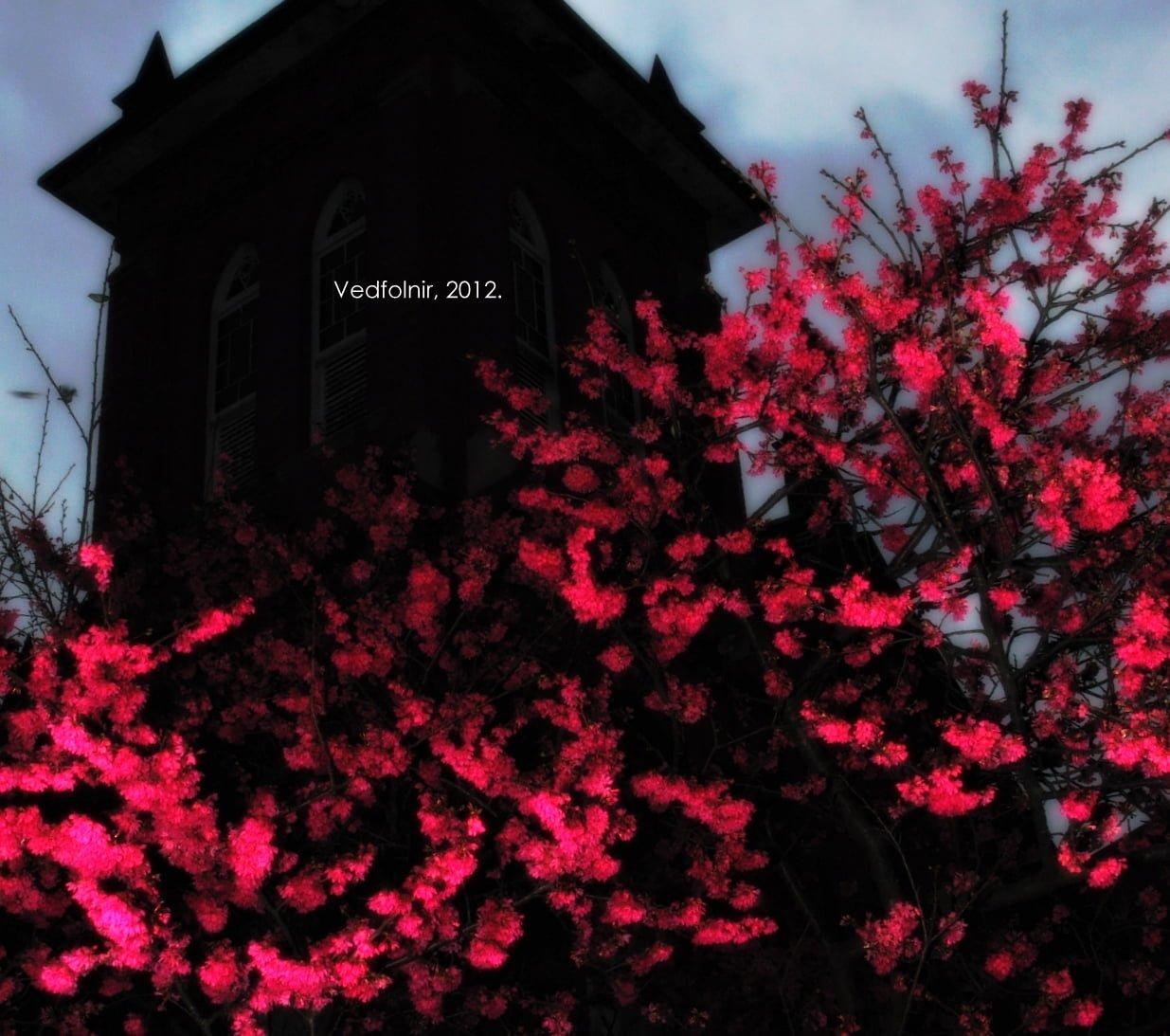 櫻花夜與淡水馬偕教堂