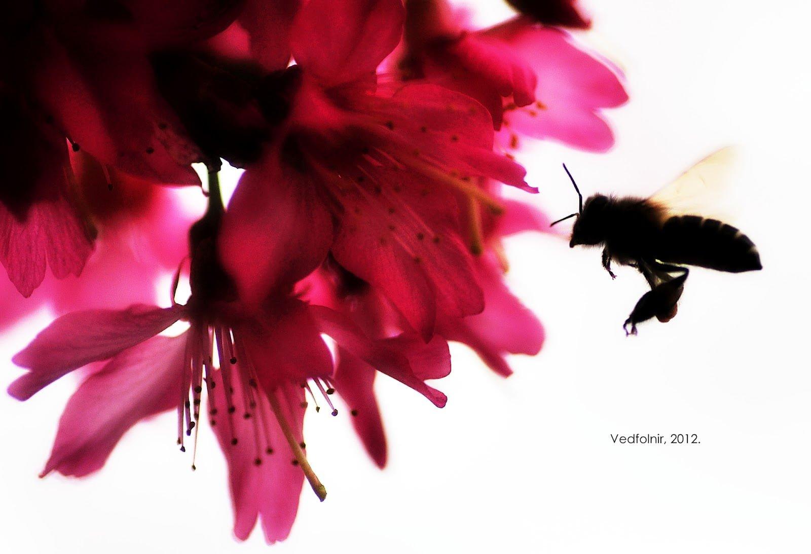 蜜蜂飛行於櫻花叢中