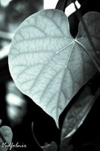 The Heart of Leaf Linjinliang 1 1 植物之心|淡水
