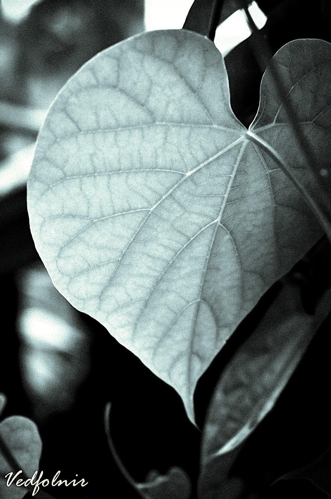 植物之心|淡水