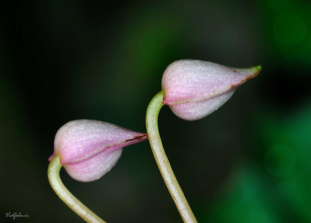 粉色水鴨腳|北海岸青山瀑布