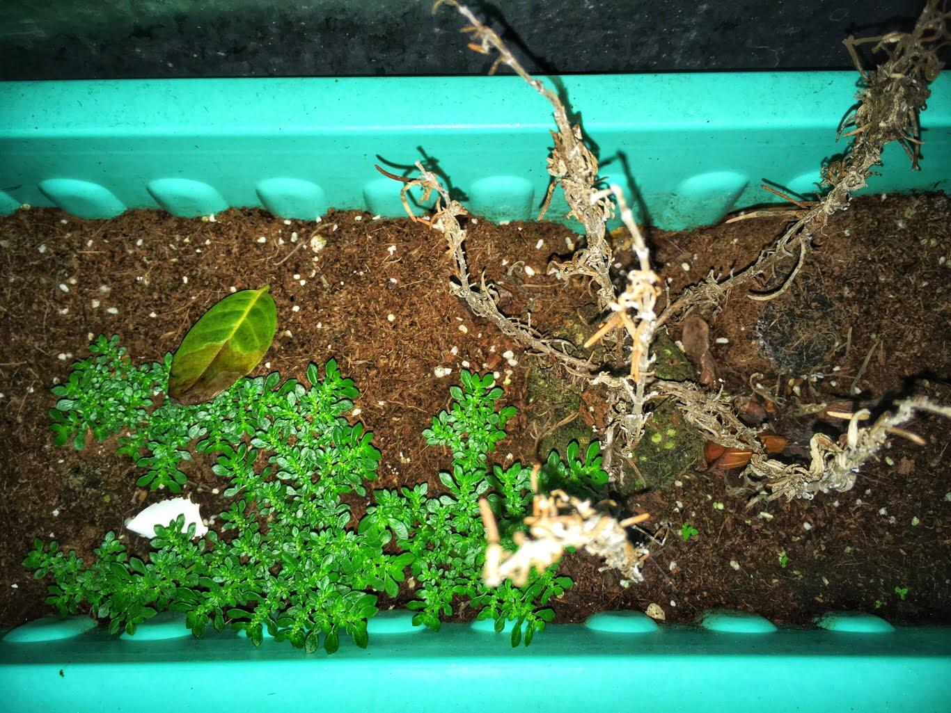 雜草 香草|淡水