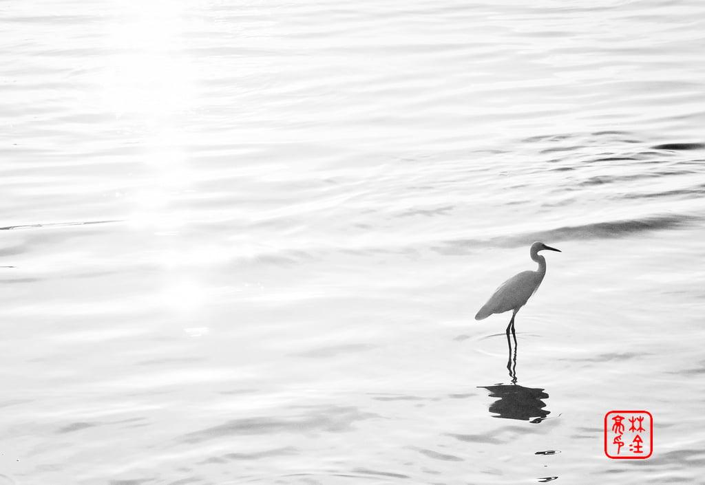 Egret nameless on Tamsui River