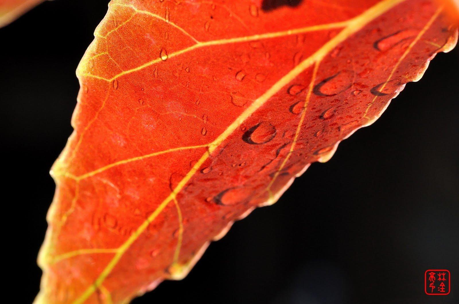 陽光與紅葉