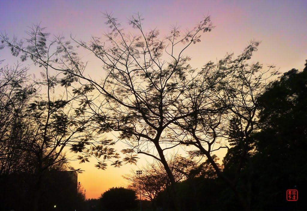 樹與影|真理大學上的淡水夕陽