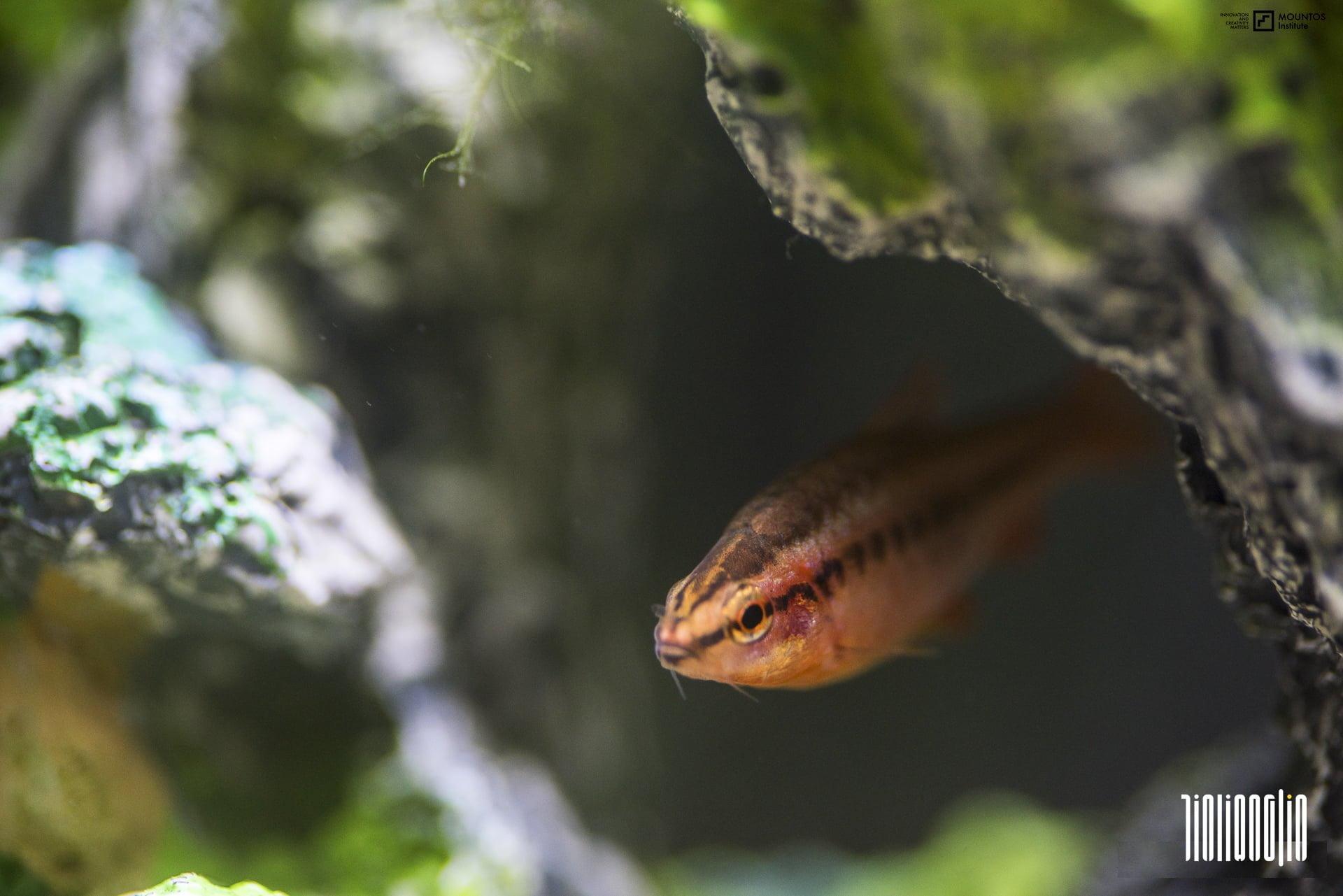 魚缸日記:蓮花缸小世界的蓋斑鬥魚家族