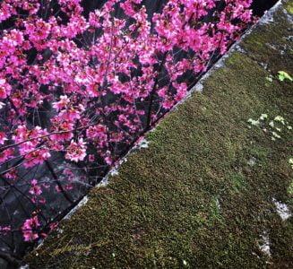 粉櫻紅與青苔綠丨淡水小巷