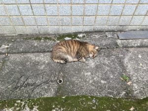 淡水老街上的愛睡覺貓蟲