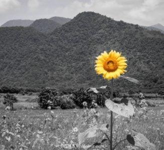 向日葵丨宜蘭南澳
